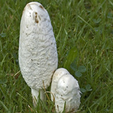 Shaggy Mane or Ink Cap